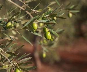 Shorter Table Olive Crop Expectations Confirmed