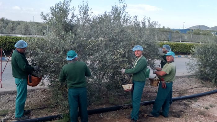 Harvest Of Our Olive Trees At The Plant